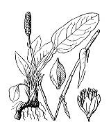 Photographie n°3144.png du taxon
