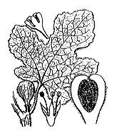 Photographie n°3264.png du taxon