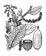 Photographie n°3271.png du taxon
