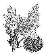 Photographie n°3274.png du taxon