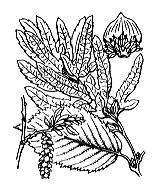 Photographie n°3280.png du taxon