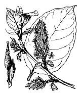 Photographie n°3299.png du taxon