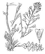 Photographie n°330.png du taxon