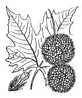 Photographie n°3314.png du taxon