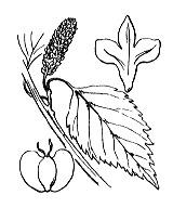 Photographie n°3317.png du taxon