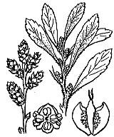Photographie n°3322.png du taxon
