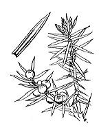 Photographie n°3327.png du taxon