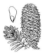 Photographie n°3334.png du taxon