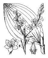 Photographie n°3356.png du taxon