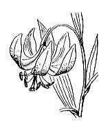 Photographie n°3382.png du taxon
