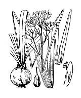 Photographie n°3416.png du taxon