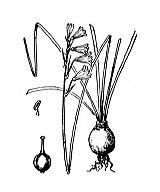 Photographie n°3420.png du taxon