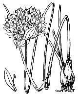 Photographie n°3434.png du taxon