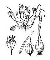 Photographie n°3439.png du taxon
