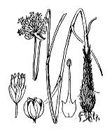 Photographie n°3441.png du taxon