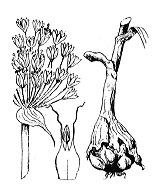 Photographie n°3454.png du taxon