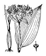 Photographie n°3457.png du taxon