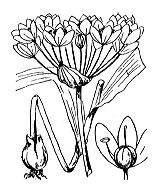 Photographie n°3459.png du taxon