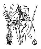 Photographie n°3474.png du taxon
