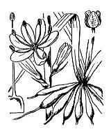 Photographie n°3477.png du taxon