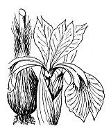 Photographie n°3519.png du taxon