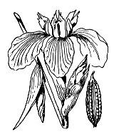 Photographie n°3524.png du taxon
