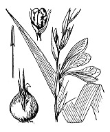Photographie n°3535.png du taxon