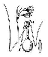 Photographie n°3541.png du taxon