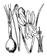 Photographie n°3546.png du taxon