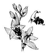 Photographie n°3575.png du taxon