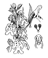 Photographie n°3583.png du taxon