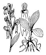 Photographie n°3584.png du taxon