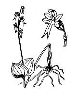 Photographie n°3629.png du taxon