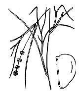 Photographie n°3640.png du taxon