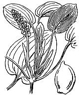 Photographie n°3659.png du taxon
