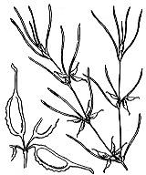 Photographie n°3664.png du taxon