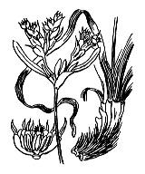 Photographie n°3670.png du taxon