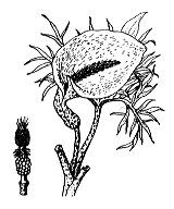 Photographie n°3679.png du taxon