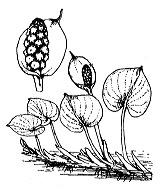 Photographie n°3685.png du taxon