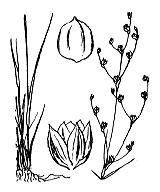 Photographie n°3706.png du taxon