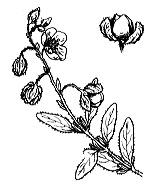 Photographie n°374.png du taxon