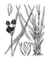 Photographie n°3744.png du taxon