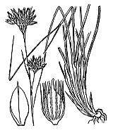 Photographie n°3760.png du taxon