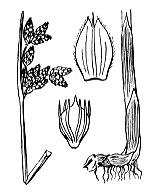 Photographie n°3778.png du taxon