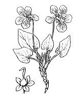 Photographie n°381.png du taxon