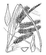 Photographie n°3897.png du taxon