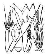 Photographie n°3906.png du taxon