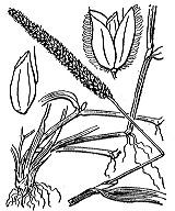 Photographie n°3945.png du taxon