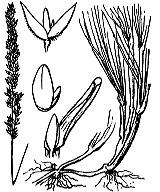 Photographie n°4013.png du taxon