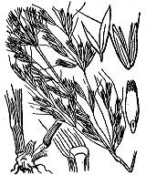 Photographie n°4080.png du taxon